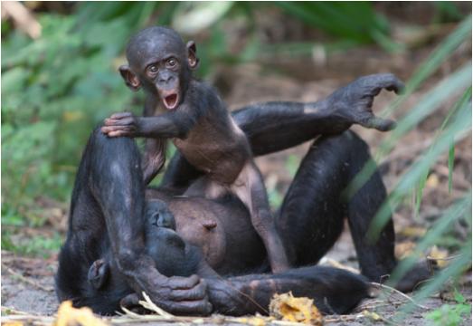 Partez à la rencontre des Bonobos, les vrais :)